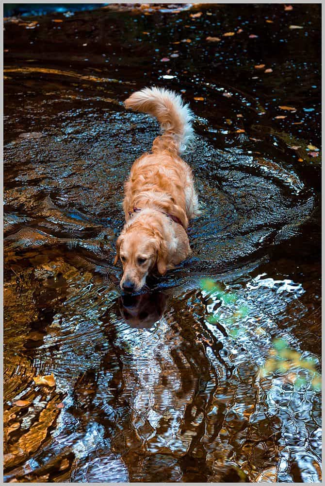this image shows there dog going for a play in the river